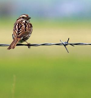 bird-barbedwire